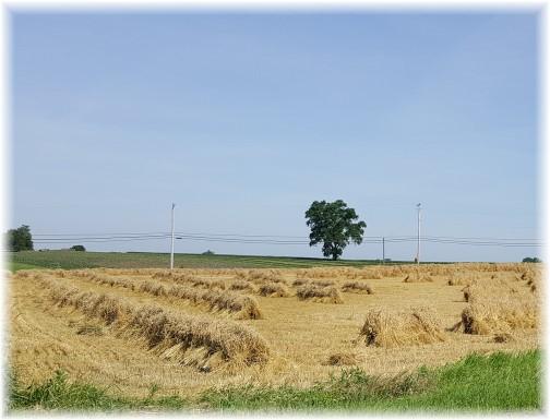 Wheat shocks near Paradise, PA