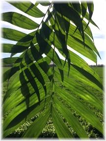 Palms 4/9/17 (Photo by Ester)