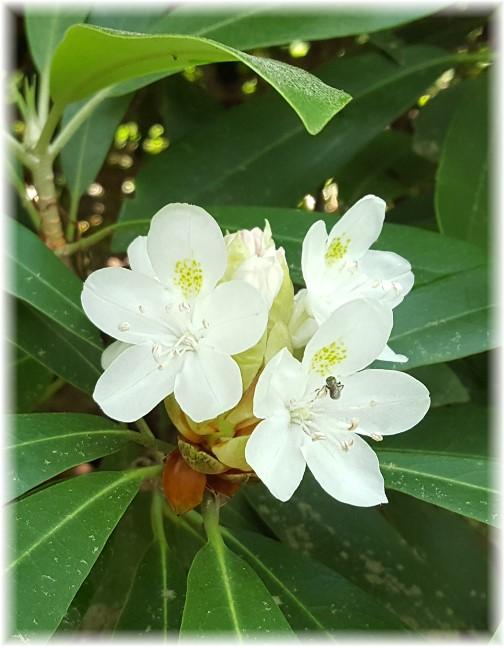 Swatara Falls rhododendren 6/27/17