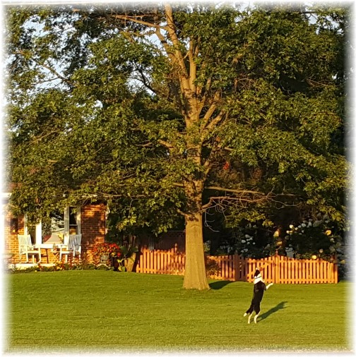 Mollie catching frisbee in front lawn 9/15/17