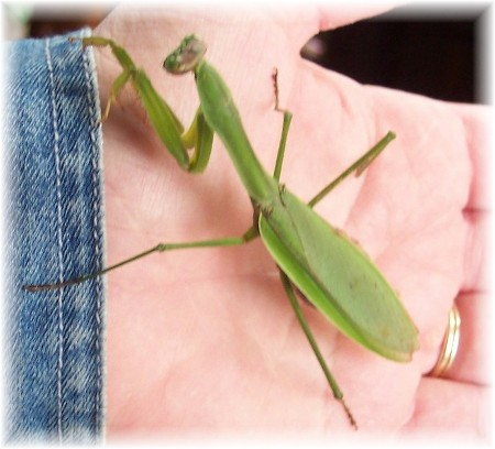 Praying mantis in Brooksyne's hand