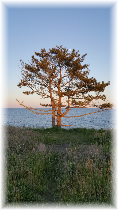 Lone tree on Sachuest Point, Rhode Island 6/17/16
