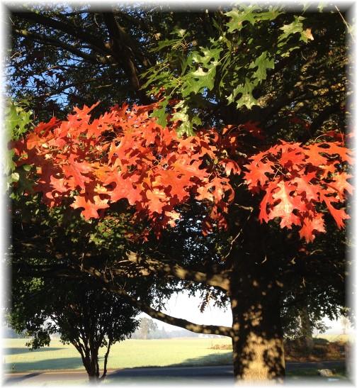 Oak foliage 10/12/14