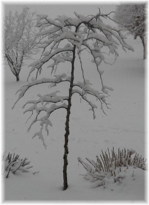 Snowy tree 2/3/14