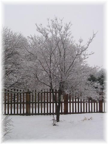 Dogwood after ice storm 2/2/11