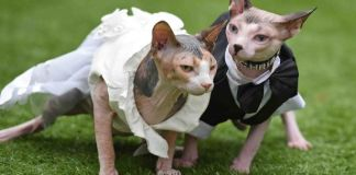 Two Bald Cats Gets Married. Their Reason For it will Break Your Heart