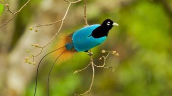 New Guinea's Birds of Paradise