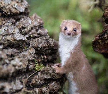 Annie Dillard: Living Like Weasels