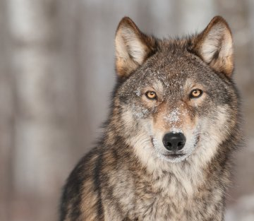 Of Wild Wolves And Bottle-Fed Squirrels