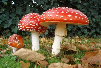 Amanita muscaria - the Fly Agaric