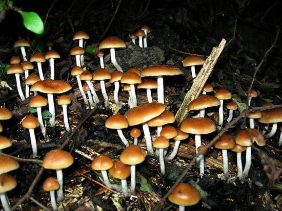 Psilocybe mushrooms