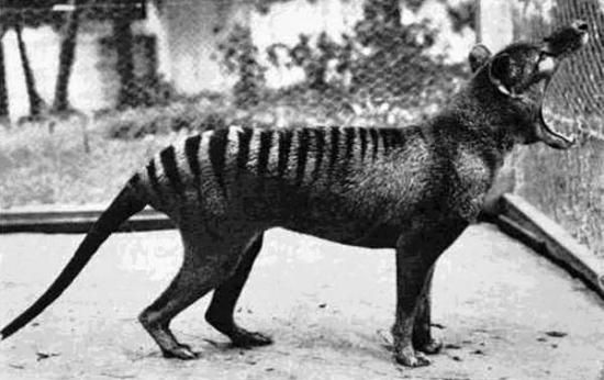 The Thylacine, or 'Tasmanian Tiger'