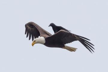 Crow rides an eagle