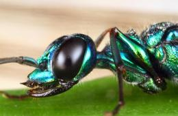 Jewel wasp