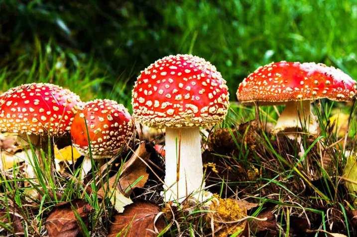 Amanita muscaria, the Fly Agaric mushroom
