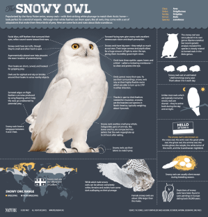 The Magic of the Snowy Owl | Daily Infographic