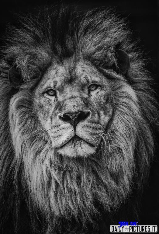 a beautiful lion