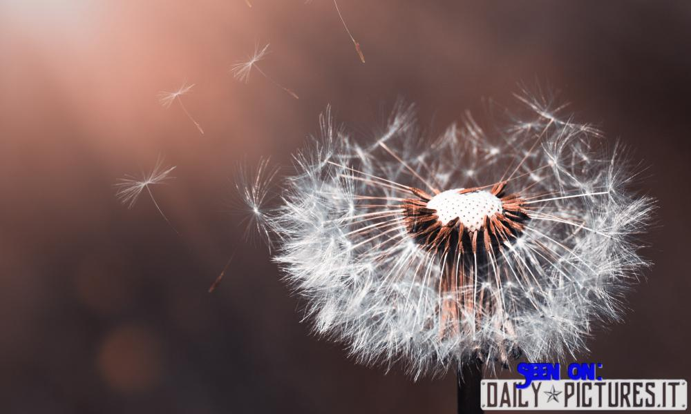 Dandelion Flower to print