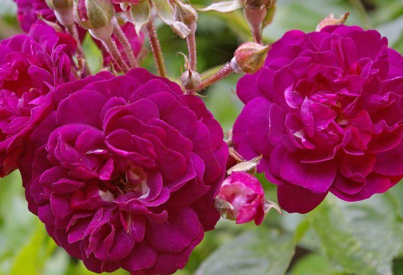 Bunga Mawar Ungu Bermekaran (Rosa Damascena Purple)