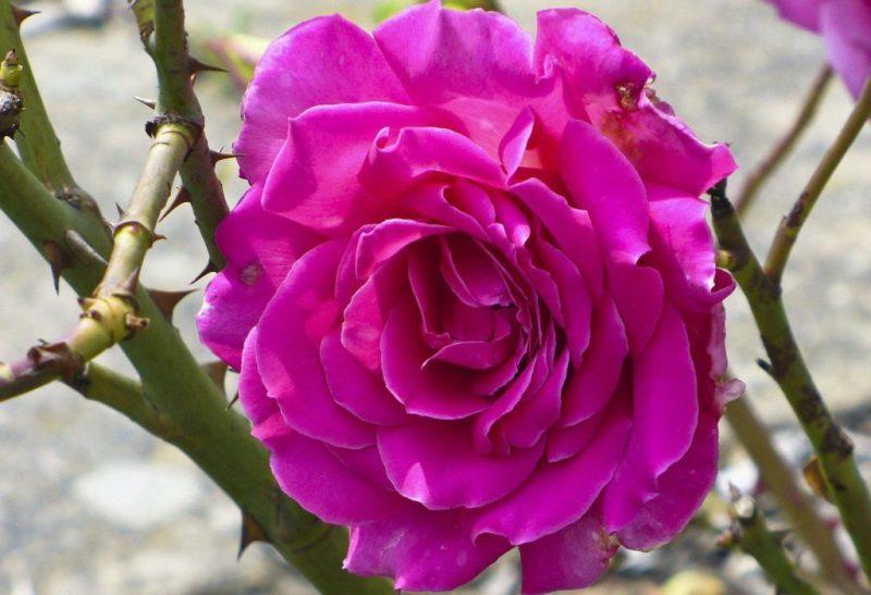 Bunga Mawar Ungu Mekar Indah (Mawar Floribunda Ungu Tua)