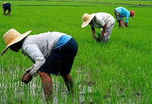 Rice Production In Nigeria And How To Make Money From It