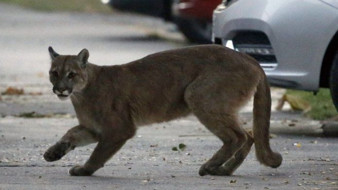 Mother fights off mountain lion attacking her son