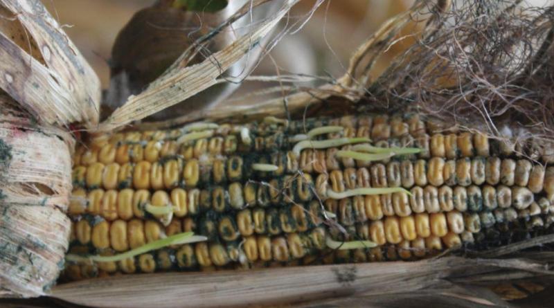 Μυκοτοξίνες – Αφλατοξίνες Υπάρχουν στα γαλακτοκομικά προϊόντα? Ποιός ο ρόλος των ζωοτροφών?