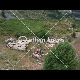 αγορά πλάνα βίντεο on line - πρόβατα στη στάνη - άμελξη 10 sec V-1013