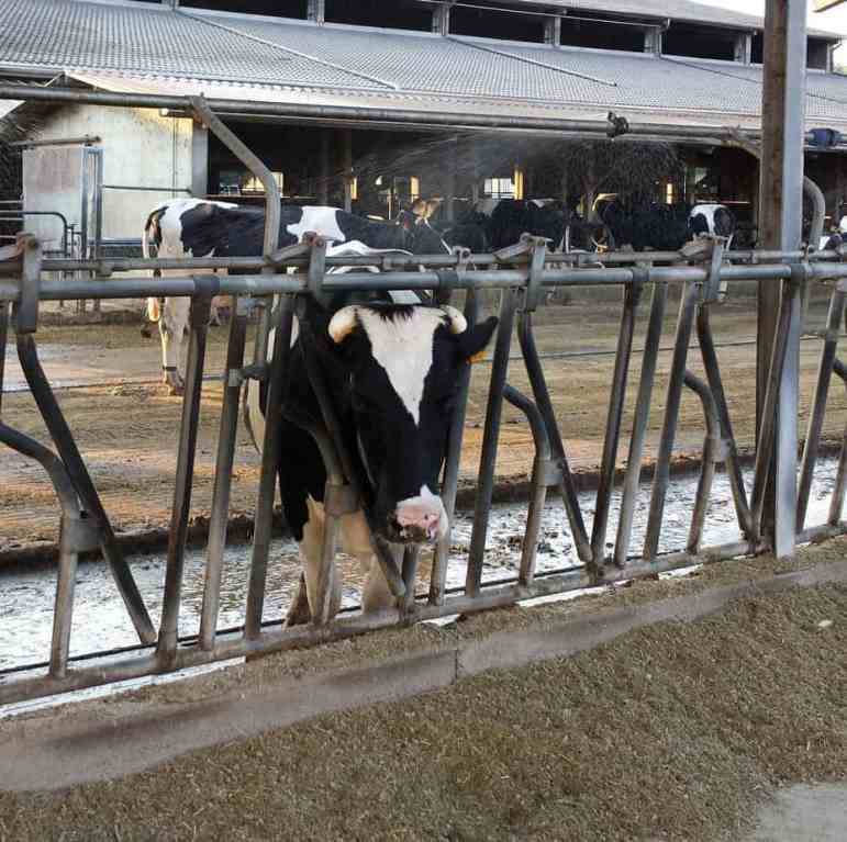 The dry cows on the farm had sprinklers keeping them comfortable. Another thing in this pen that could never happen in Wisconsin was a slow moving manure cleaner. The pen was kept nice and clean with a scraper running all the time.