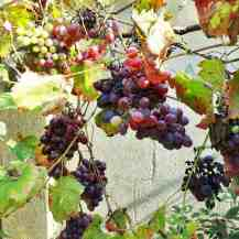 These grapes were so sweet and juicy!