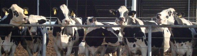 The-Cows.jpg
