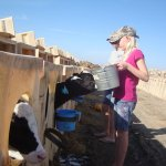 How the Baby Calves are Treated at the Dairy Farm
