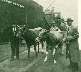 Cows boarding ship for antartica