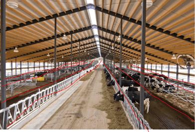 Inside A Modern Cow Barn Dairy Moos