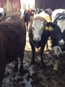 Enrico (Fleckvieh) X TD (BS) X Holstein