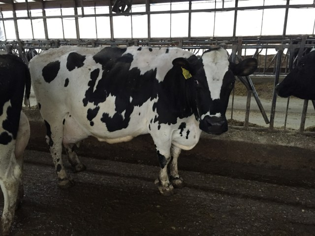 B Jurist (SR) X Manfred (HOL) - 5th lactation