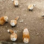狐狸村, 藏王狐狸村, 日本東北, 東北自由行, 藏王景點, 東北自駕, fox-village