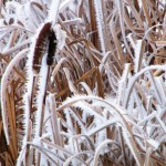 cattails and hoar frost, heritage cattail down
