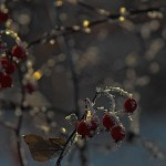 ice crystals, rose hips, -29 C