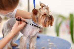 Changing hairdo. Yorkshire terrier stands still while its lower muzzle hair is being cut.