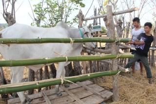 Sapi di Sumbawa Tak Kekurangan Pakan (Sumber: RZ)