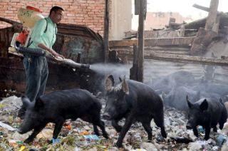 Salah satu peternakan babi di Mesir (felesten.ps)