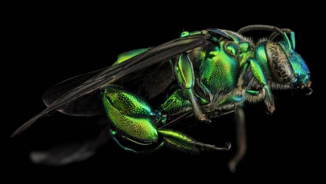 lebah-10