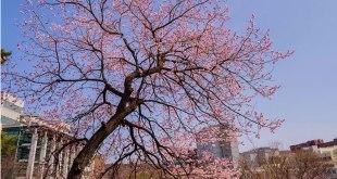Sakura di Kompleks Kampus Seoul Nat`l Univ of Science and Technology. (facebook.com)