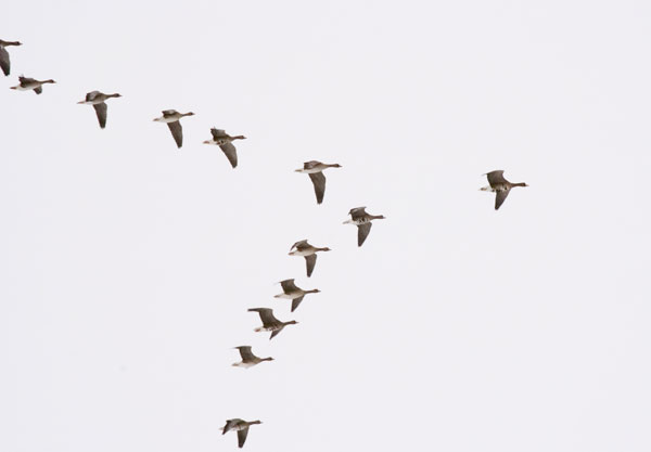 Goose Story