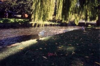 The Avon River, Christchurch