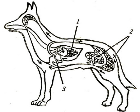 Система органов кровообращения собак