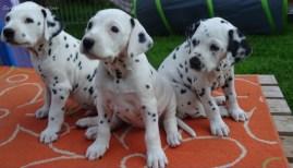 #dalmatiner-welpen-vds-D-Wurf-woche6-0148