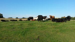 Køerne nyder sensommersolen sidst i august