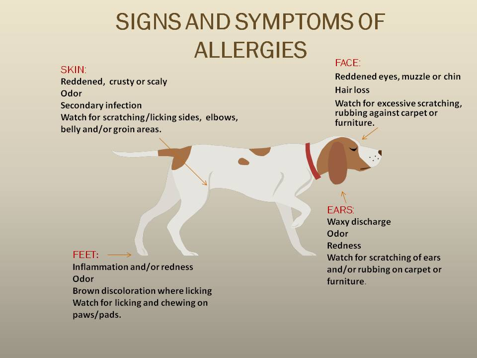 Dog Allergies Allergy In Dogs Food Allergy In Dogs | Rachael Edwards